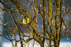 Parus major in winter. On a little twig royalty free stock photography