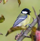 Parus major - Winter welcome. Parus major sits on a branch and poses, welcomes winter Royalty Free Stock Photo