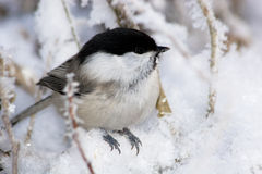 Parus montanus, Willow Tit Stock Images