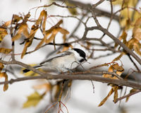 Parus montanus, Willow Tit Royalty Free Stock Image