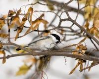 Parus montanus, Willow Tit royalty free stock image