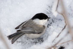 Parus montanus, Willow Tit Stock Image
