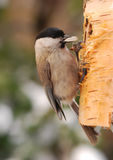 Parus palustris. The titmouse had perched on masked nosebag with  pip in a beak Stock Photography