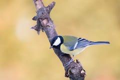 Parus ważny, Błękitny tit Przyroda krajobraz, titmouse obsiadanie na gałąź Fotografia Royalty Free