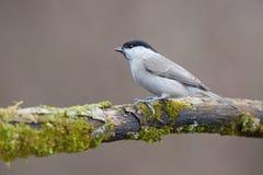Parus ważny, Błękitny tit Przyroda krajobraz, titmouse obsiadanie na gałąź Fotografia Stock