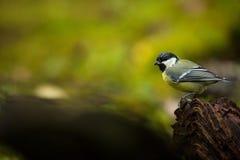 Parusmajor Wild lebende Tiere von Finnland Schöne Abbildung Karelien Vom Vogelleben Stockbilder