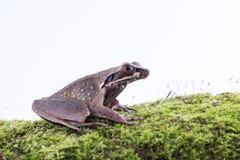 Parva Lesser Stream Horned Frog de Megophrys: rã na parte traseira do branco Imagem de Stock