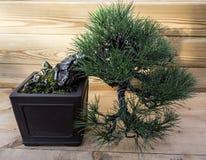 Parviflora del pinus dei bonsai Immagine Stock
