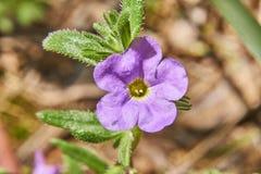Parviflora nativo de Calibrachoa do sudoeste selvagem que cresce selvagem em Texas fotos de stock