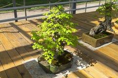 Parvifolia do Ulmus do olmo chinês - bonsai ao estilo de Imagens de Stock