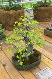Parvifolia do Ulmus do olmo chinês - bonsai ao estilo de Fotografia de Stock Royalty Free