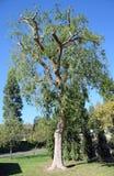 Parvifolia podado em madeiras de Laguna, Califórnia do Ulmus do olmo chinês imagens de stock royalty free