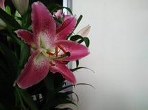 parvum лилии Стоковые Фото