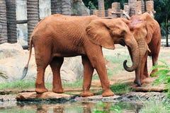 Pary Afrykanina słonie Zdjęcia Royalty Free