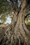 pary europaea olea oliwki korzeń ten sam drzewni bagażniki Fotografia Stock