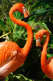 pary flaminga miłość zdjęcia stock