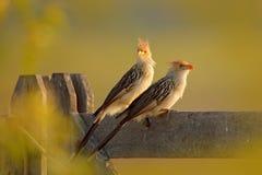 Pary Guira kukułka, Guira guira w natury siedlisku, ptasi obsiadanie w żerdzi, popielaty ptak, Mato Grosso, Pantanal, Brazylia br obrazy royalty free