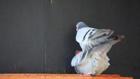 Pary lęgowy gołąb w domowym loft zbiory