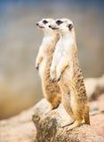 Pary meerkat Fotografia Stock