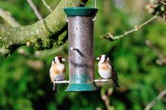 Pary ofGoldfinch na dozowniku. Fotografia Royalty Free