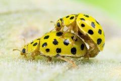 Pary ol 22 punktu ladybirds Obrazy Stock