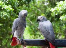 Pary papuga przeciw naturalnemu tłu zdjęcia royalty free