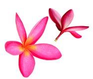 Para czerwony Plumeria kwitnie na białym tle Zdjęcie Stock