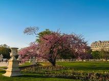 Paryż - Purpurowy drzewo z tulipanami przy zmierzchem w Tuileries ogródzie Obrazy Royalty Free