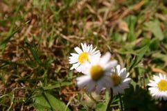 Paryski kwiat Zdjęcie Royalty Free