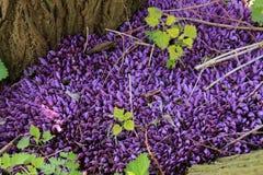 Parzące pokrzywy i ochraniający purpurowy toothwort w parku zdjęcia stock
