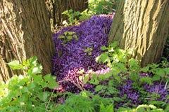 Parzące pokrzywy i ochraniający purpurowy toothwort w parku fotografia stock
