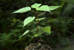 Parzącej pokrzywy rośliny Urtica dioica Zdjęcie Stock
