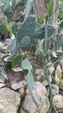 Parzący kaktusy Fotografia Royalty Free