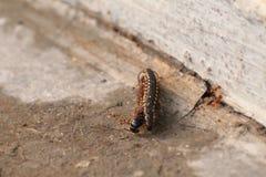 Parzysty, równy insekty są parami obraz stock
