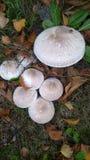 Pas champignon ici Photo stock