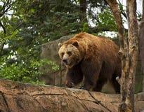 Pas d'ours de Brown au zoo d'Indianapolis image libre de droits