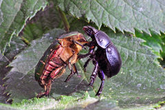 Pas de deux. Two beetles in a situation reminding on dancing Royalty Free Stock Photography