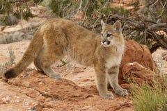 País rojo de la roca del león de montaña Foto de archivo libre de regalías
