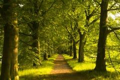 Pas ruchu bukowi drzewa Zdjęcia Royalty Free