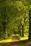 Pas ruchu bukowi drzewa Obraz Royalty Free