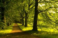 Pas ruchu bukowi drzewa Zdjęcie Stock