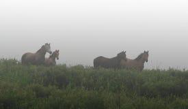 pasa konie łąkowych Fotografia Stock