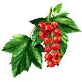 Pasa madura roja con las hojas del verde aisladas, ejemplo de la acuarela Foto de archivo libre de regalías
