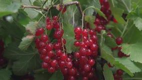 Pasa roja de la cosecha baya sabrosa en la rama Baya orgánica Rubrum del Ribes Pasas jugosas maduras rojas en el jardín, a metrajes