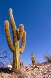 Pasacana Cactus. (Trichocereus pasacana) in Argentina Stock Photography