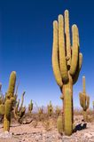 Pasacana Cactus Royalty Free Stock Photography