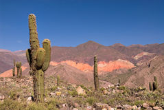 Pasacana Cactus in Northern Argentina Stock Photography