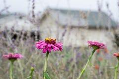 Pasado de los zinnias del verano Imagen de archivo libre de regalías