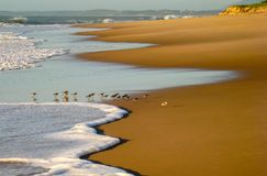 Pasando corriendo para encontrar el desayuno en la marea entrante, RJ, el Brasil foto de archivo libre de regalías