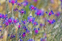 Pasargad łąki błękitni kwiaty Obrazy Stock